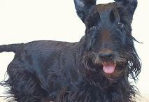 Scottish Terrier Rescue / Dedicated to promoting Scottish Terrier rescue efforts.