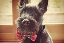 Scottish Terriers of Instagram / A collection of cute Scottish Terrier photos on Instagram!