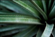 ALOE \\ Resourcefulness / Healing with Aloe. Herbal / Plant Spirit Medicine
