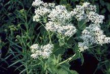 BONESET \\ Structure / Healing with Boneset. Herbal / Plant Spirit Medicine
