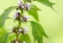 MOTHERWORT \\ Initiation / Healing with Motherwort. Herbal / Plant Spirit Medicine