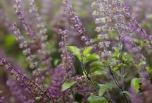 TULSI \\ Faith / Healing with Tulsi. Herbal / Plant Spirit Medicine