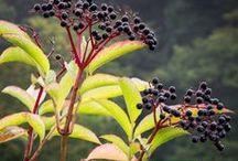 ELDER \\ Ancient Wisdom / Healing with Elder. Herbal / Plant Spirit Medicine