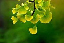 GINKGO \\ Patience / Healing with Ginkgo. Herbal / Plant Spirit Medicine