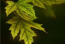 MAPLE \\ Abundance / Healing with Maple. Herbal / Plant Spirit Medicine