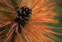 PINE \\ Awakening / Healing with Pine. Herbal / Plant Spirit Medicine