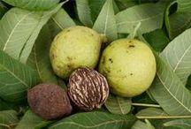 WALNUT \\ Letting Go / Healing with Walnut. Herbal / Plant Spirit Medicine