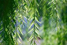 WILLOW \\ Interconnection / Healing with Willow. Herbal / Plant Spirit Medicine