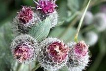 BURDOCK \\ Detoxify / Healing with Burdock. Herbal / Plant Spirit Medicine
