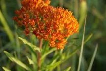 BUTTERFLY WEED \\ Transformation / Healing with Butterfly Weed. Herbal / Plant Spirit Medicine