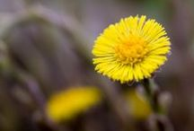 COLTSFOOT \\ Presence / Healing with Coltsfoot. Herbal / Plant Spirit Medicine
