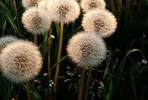 DANDELION \\ Manifestation / Healing with Dandelion. Herbal / Plant Spirit Medicine