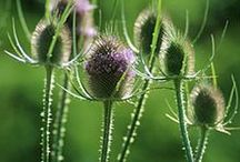 TEASEL \\ Protection / Healing with Teasel. Herbal / Plant Spirit Medicine