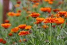 CALENDULA \\ Shine / Healing with Calendula. Herbal / Plant Spirit Medicine