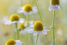 CHAMOMILE - Inner Child / Healing with Chamomile. Herbal / Plant Spirit Medicine
