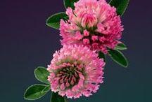 CLOVER \\ Flow / Healing with Clover. Herbal / Plant Spirit Medicine