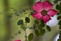 ROSE \\ Open Heart / Healing with Rose. Herbal / Plant Spirit Medicine