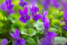 VIOLET \\ Introspection / Healing with Violet. Herbal / Plant Spirit Medicine