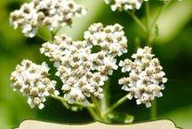 YARROW \\ Boundaries / Healing with Yarrow. Herbal / Plant Spirit Medicine