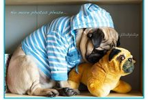 Pugs / It's a pug's life, which is part of my existence every day! / by Julie Phillips