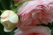 """Bloom / """"I'd rather have roses on my table than diamonds on my neck.""""  Emma Goldman"""