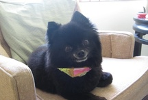 Froggy, Pomeranians, and other furry friends / by Carol Jeanne