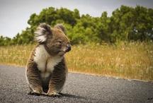 Koala→