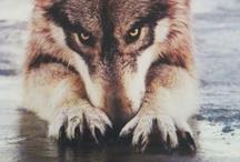 Wolf→