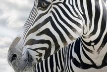 Zebra→