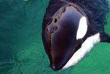 Orca/Dolphin→