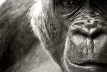 Gorilla→