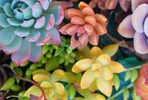 Succulents and Cacti / Everything you need to know about growing succulents including: succulent DIY, growing succulents indoor, succulents wedding, succulents care, propagating succulents, cacti care, cactus terrariums, and growing cactus indoor.