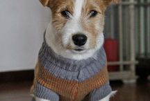 Jack Russel Terrier / The name is Spartaco