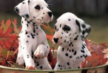 Animals: Dalmations | Favorite / The only spotted breed, the Dalmatian is alert and active, possessing great endurance, speed and intelligence. Their short coat is white with black or liver (brown) spots. / by Linda Stringer