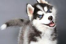Animals: Siberian Husky | Favorite / by Linda Stringer