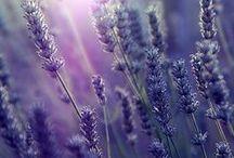 Lavender ♥ Love