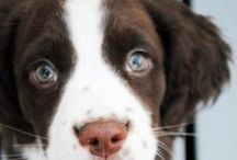 To Springer Spaniel. / My pup / by Lindsey B