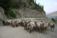 Sheep Trailing