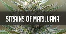 strains of marijuana
