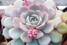 Cactus & Succulents / Succulents