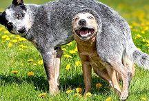 Australian Cattle Dog / The breed of my heart