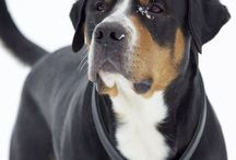 Grosset / Greater Swiss Mountain Dog