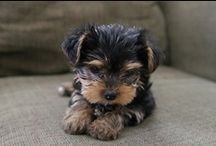 our yorkie mia / by Jenna Beam