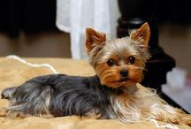 Yorkies / by Jenna Beam