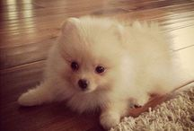 pomeranians / by Jenna Beam