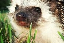 Lovely hedgehog