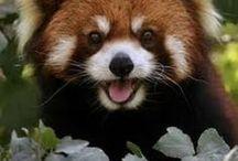 So sweet face Red Panda