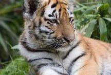 TIGERS / by ilvi