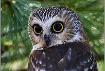 """a wise old O W L /  """"A wise old owl lived in an oak. The more he saw the less he spoke. The less he spoke the more he heard. Why can't we all be like that wise old bird?"""" (`A Wise Old Owl`, English language nursery rhyme, recorded 1875) / by ilvi"""
