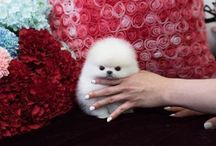 Teacup Pomeranian / Welcome to Foufou's Teacup Puppies. Home of the world's tiniest and most exquisite micro tiny teacups. You can visit our page to view all our breeds. https://foufoupuppies.com